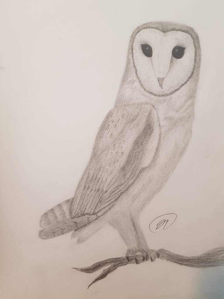 Realistic Barn Owl Drawing At Getdrawings Com Free For Personal