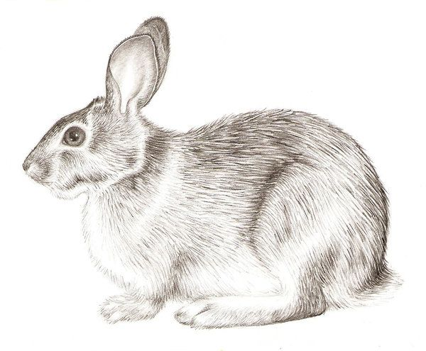 600x495 Drawings Of Rabbits And Bunnies Rabbit Realism By Grouchywolfpup