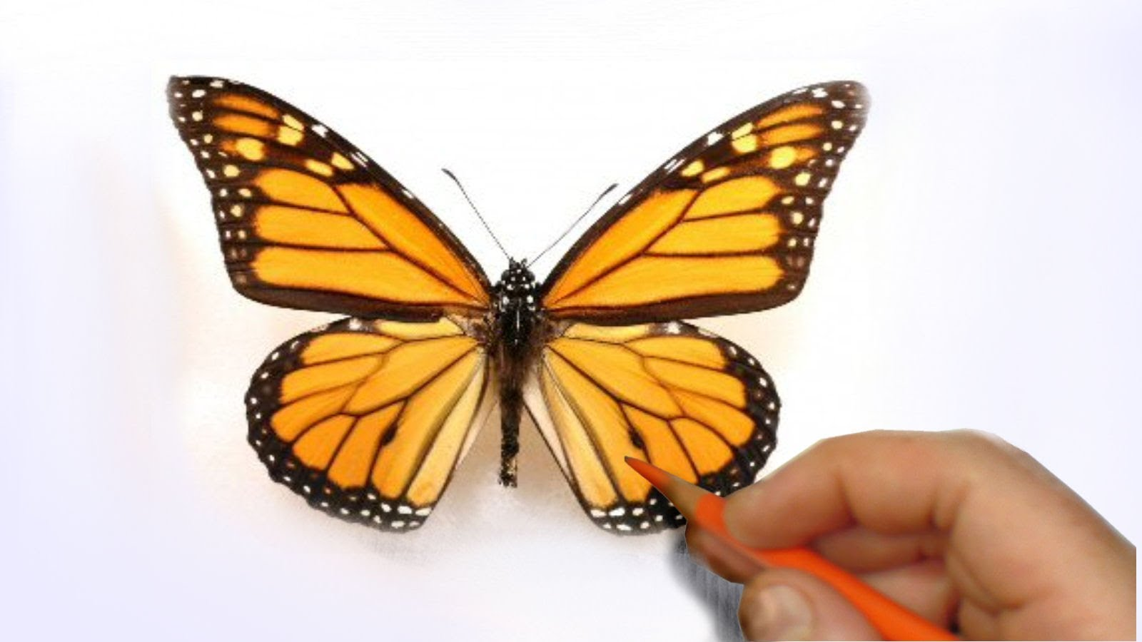 1600x900 How To Illustrate A Realistic Butterfly That Will Flutterf