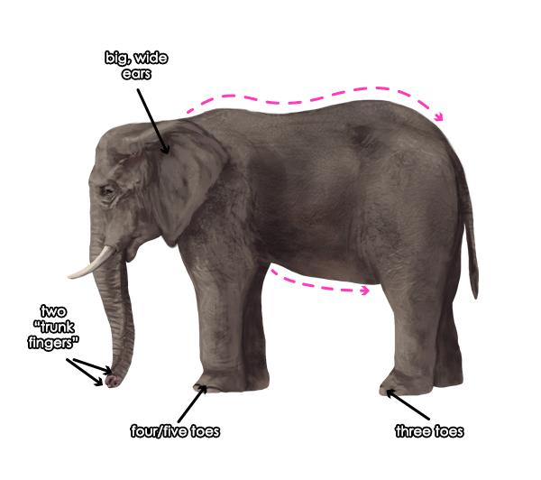 600x532 How To Draw Animals Elephants, Their Species And Anatomy