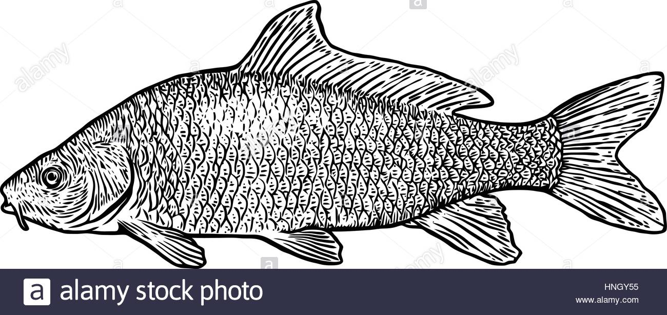 1300x614 Carp Fish Illustration, Drawing, Engraving, Line Art, Realistic