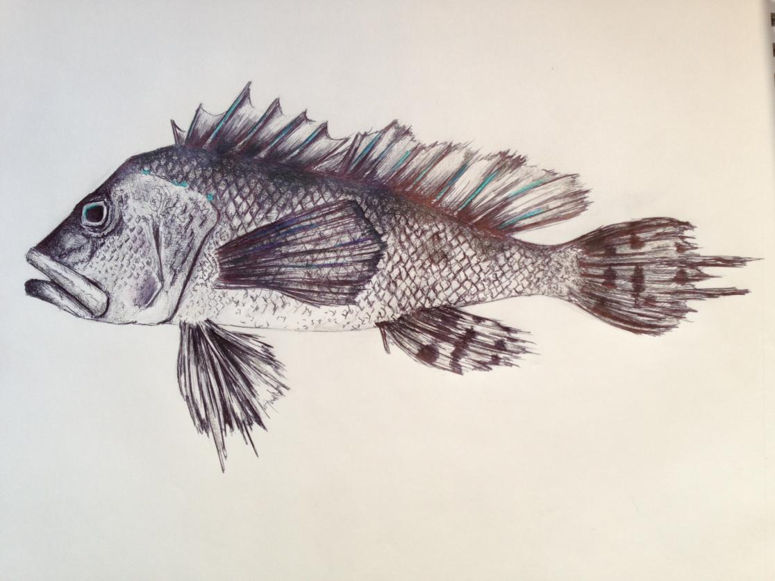 1116x837 Drawing Realistic Fishes Fish Drawings