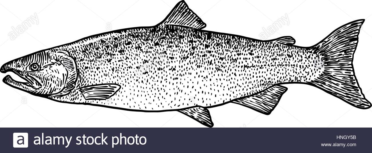 1300x535 Salmon Fish Illustration, Drawing, Engraving, Line Art, Realistic
