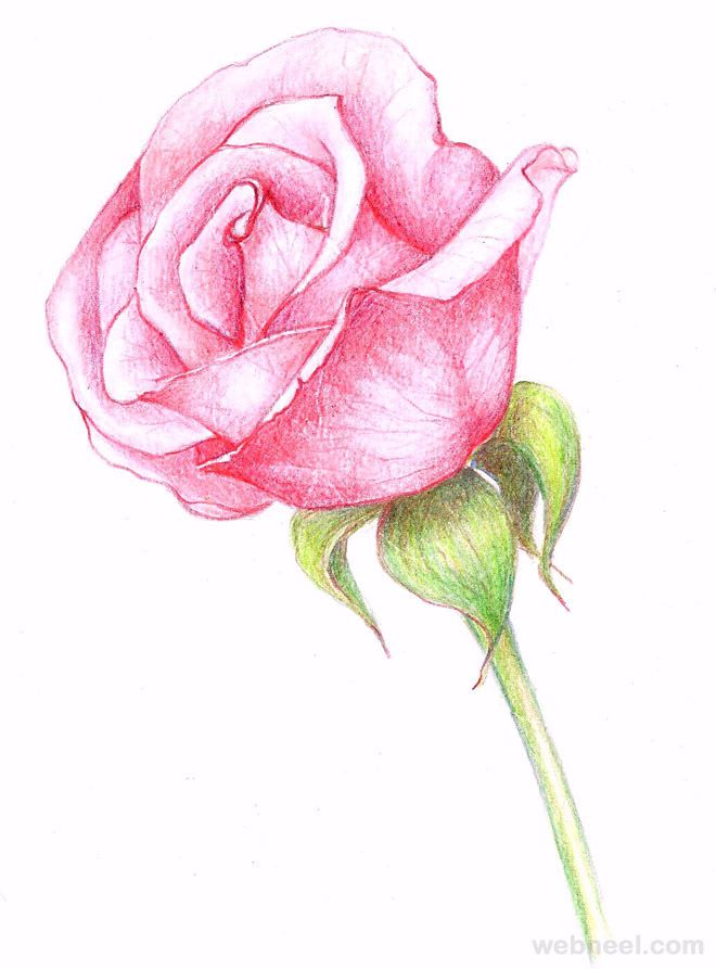 660x893 40 Beautiful Flower Drawings And Realistic Color Pencil Drawings