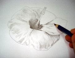242x186 Hawaiian Flower Drawings