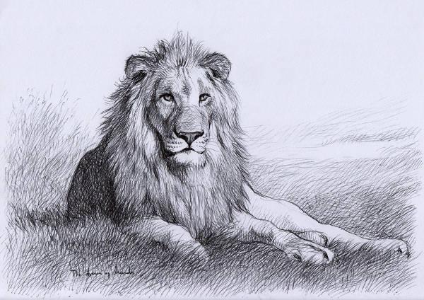 600x424 Lion Drawings