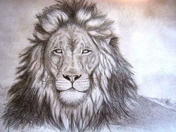 700x525 Lion Drawing Giraffe Lion Drawing, Lions And Drawings
