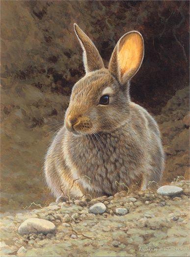 387x523 Rabbit Illustration, Wildlife Images Andrew Hutchinson Bunnies
