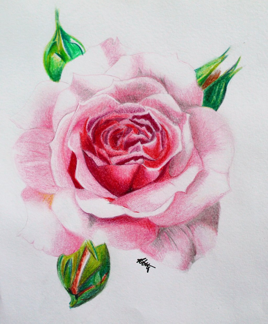 1024x1239 Knumathise Realistic Red Rose Drawing Images