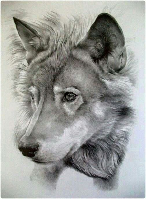 504x687 Wolf Pencil Drawing Pencil Art Wow Amazing Wolf