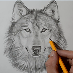 300x300 Wolf Drawing Apk