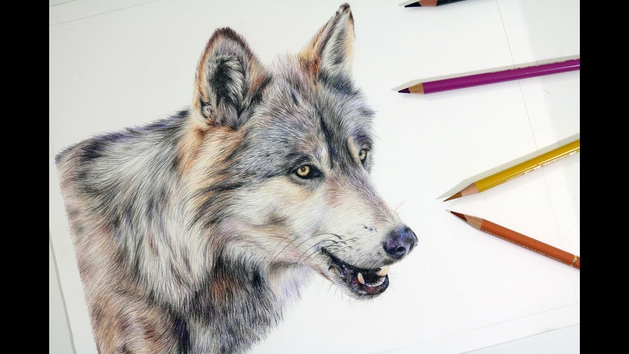 1280x720 How To Draw A Realistic Wolf Colored Pencil Drawing Tutorial