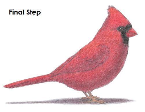 500x386 Cardinal Bird Drawing Final Designs By Bond