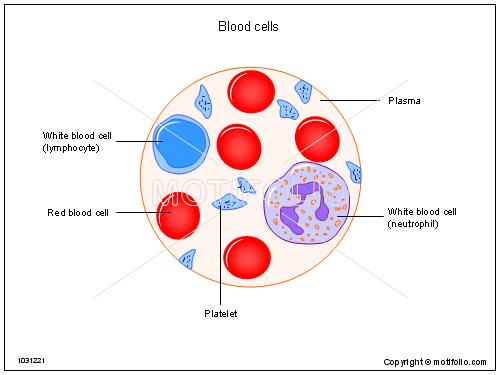 500x375 Blood Cells Illustrations