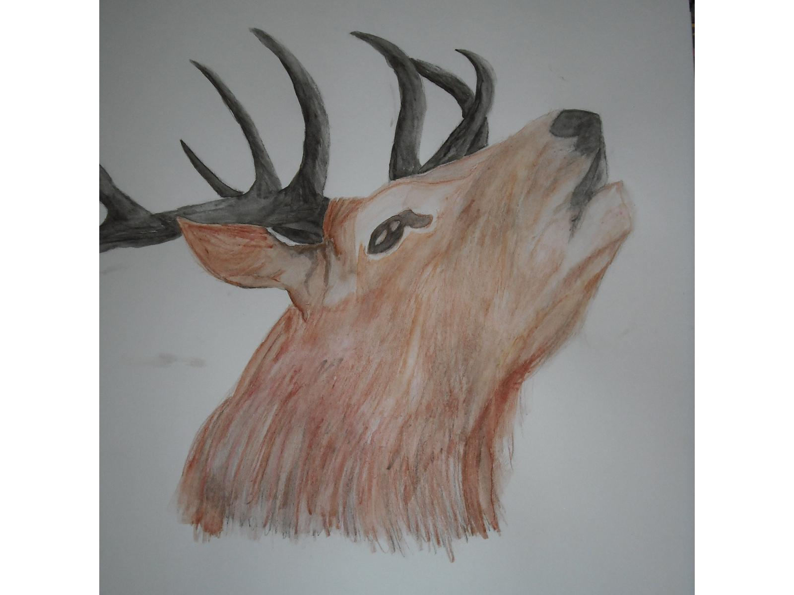 1600x1200 Drawing Of A Stag Red Deer Stag Drawing