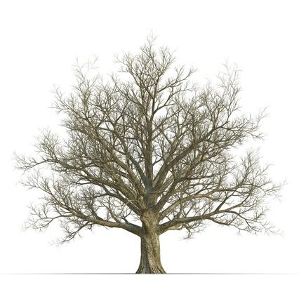 426x426 Red Oak Old Tree Winter 3d Model