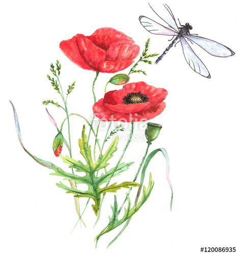 469x500 Hand Drawn Watercolor Illustration Of The Red Summer Poppy Flower