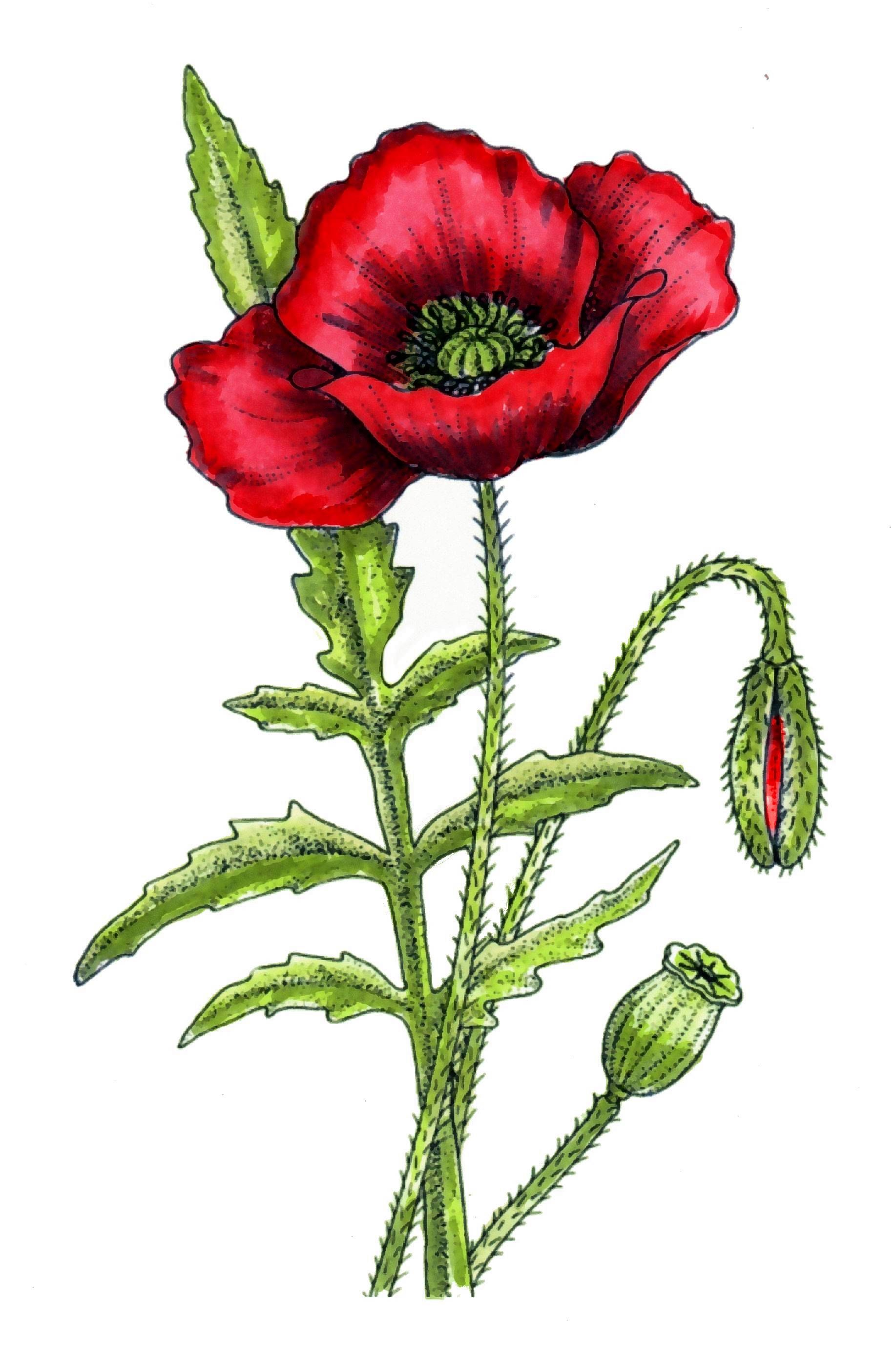 Red Poppy Flower Drawing At Getdrawings Free For Personal Use