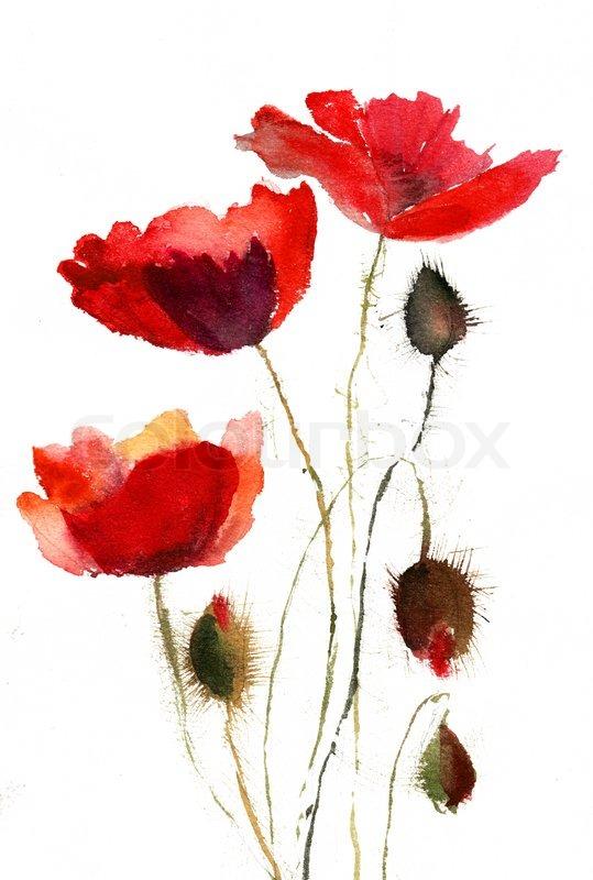 539x800 Red Poppy Flowers Stock Photo Colourbox
