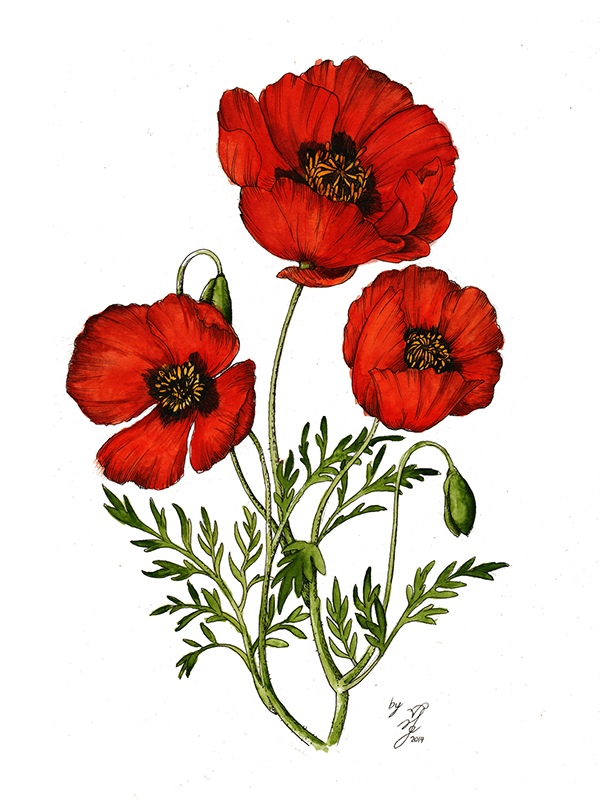 Red poppy flower drawing at getdrawings free for personal use 600x800 red poppy on behance flower illustrations pinterest poppy mightylinksfo