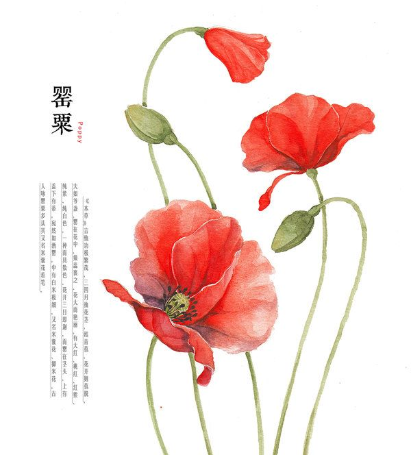 600x664 Hand Drawing Watercolor Plants Poppy By Galoshining.