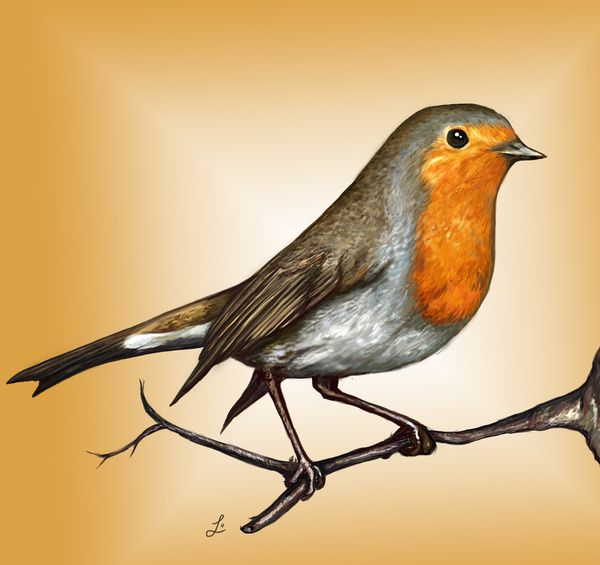Red Robin Bird Drawing At GetDrawings.com | Free For Personal Use Red Robin Bird Drawing Of Your ...