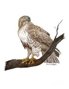 232x300 Red Tail Hawk Drawings