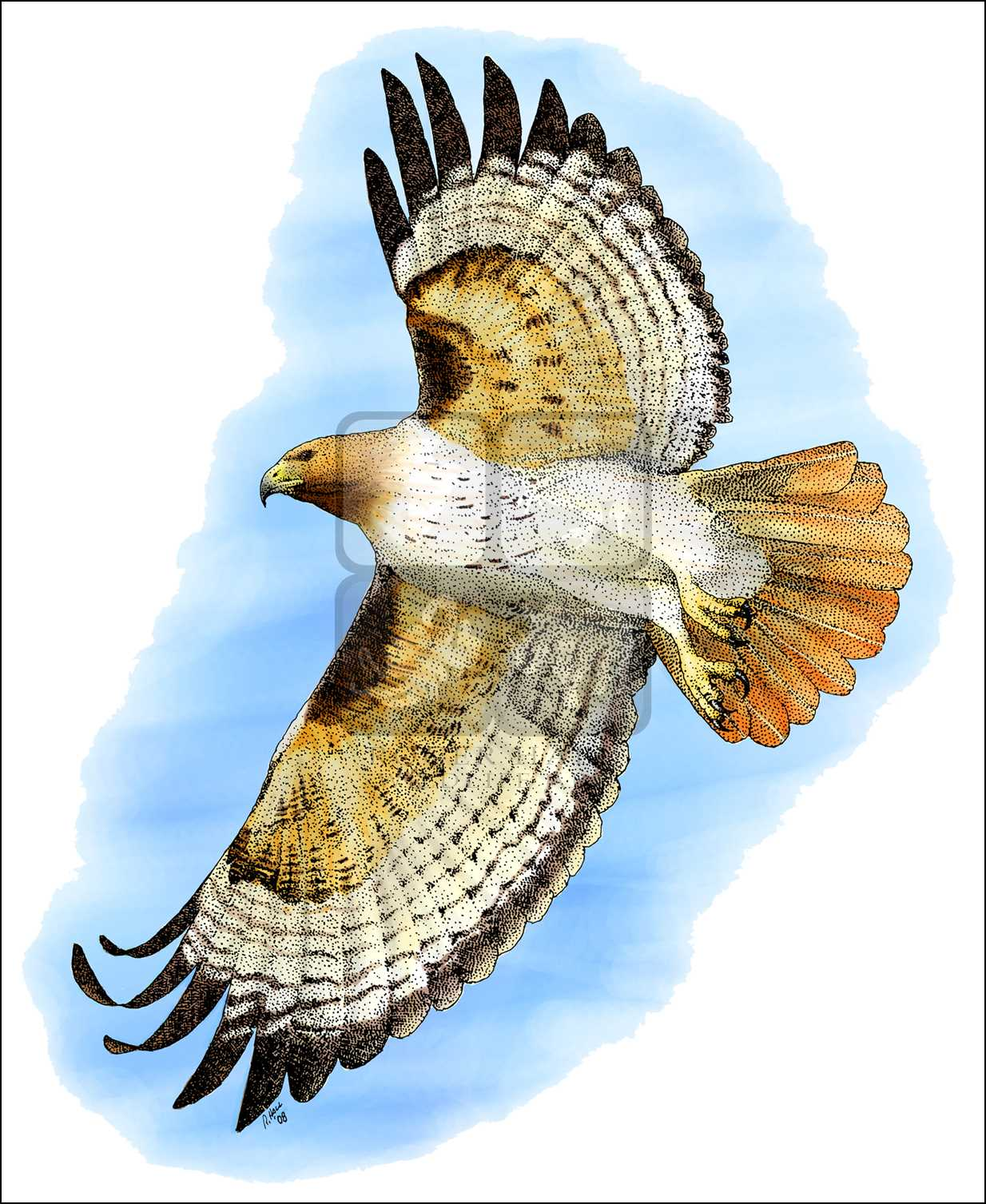 1234x1507 Red Tailed Hawk (Buteo Jamaicensis) Line Art And Full Color