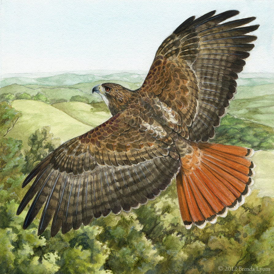 893x894 Red Tailed Hawk All God's Creatures Great And Small