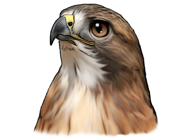 600x450 Red Tailed Hawk By On @ (Cartoon