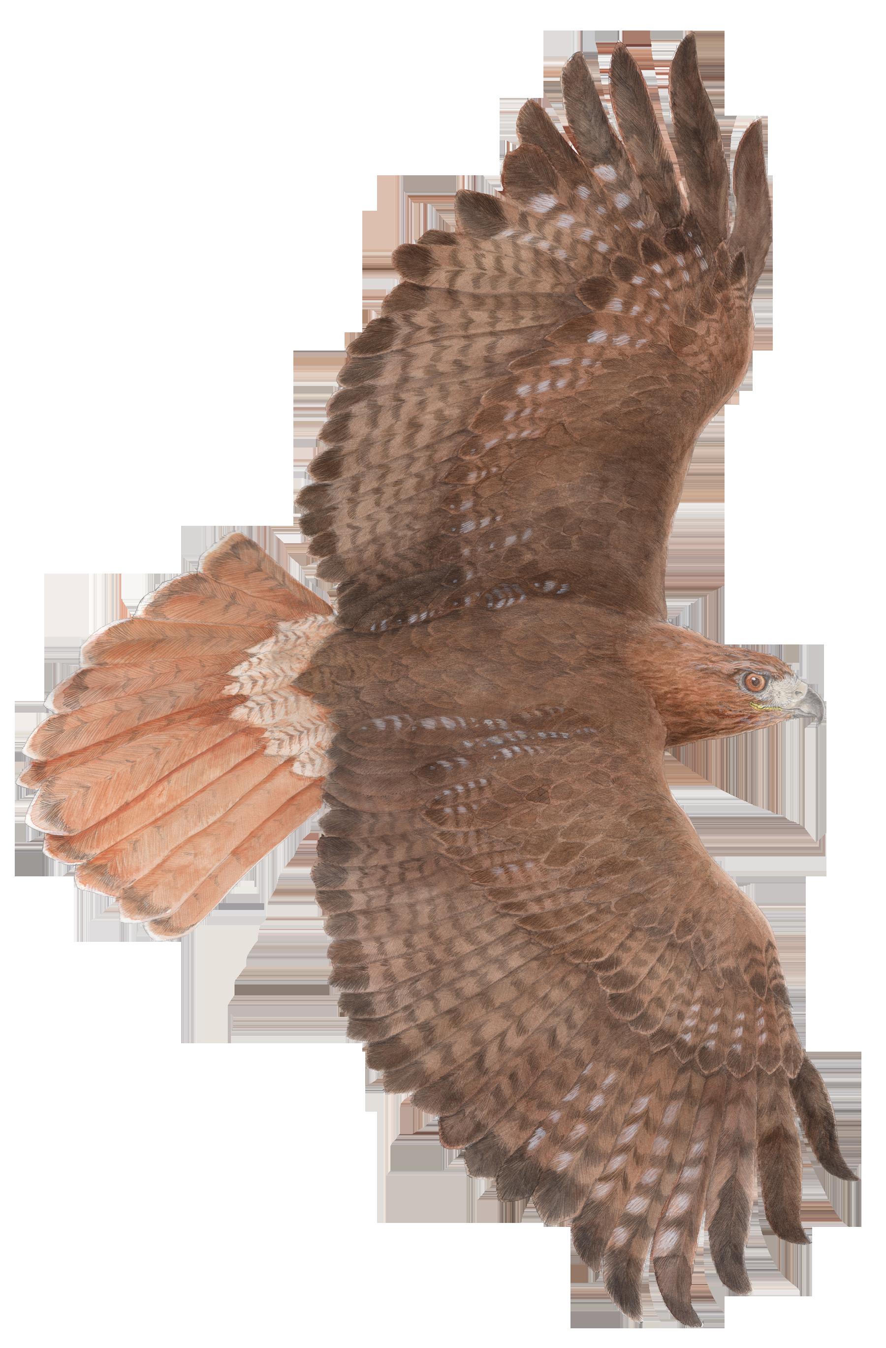 1800x2738 Red Tailed Hawk Chuck Todd Artist