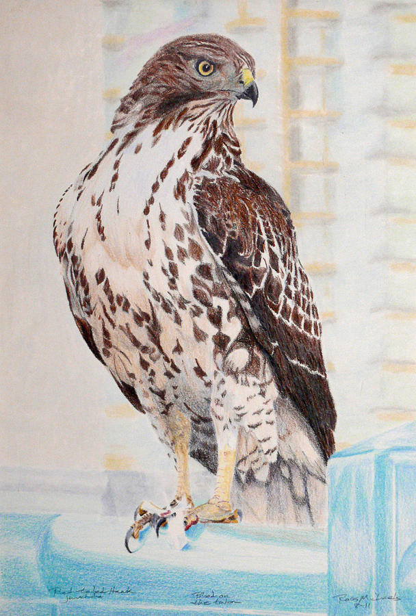 608x900 Red Tailed Hawk Drawing By Ross Michaels