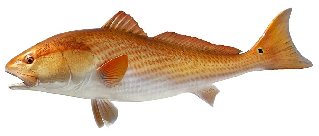 1023x439 38 Inch Redfish Mount L
