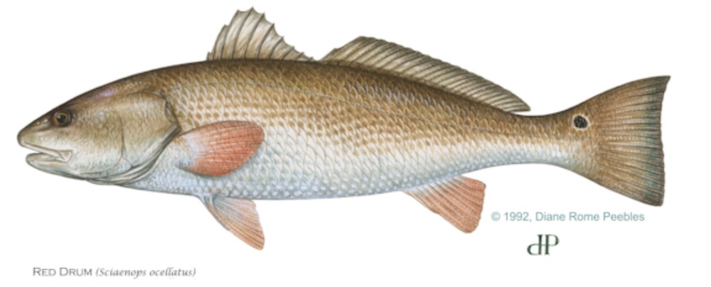 1000x404 State Redfish Laws
