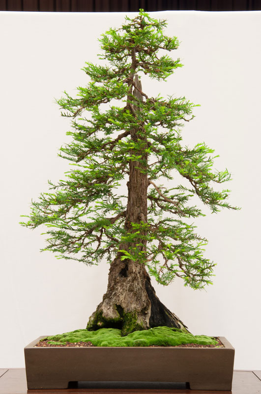 531x800 Bonsai Versions Of The World's Tallest Tree