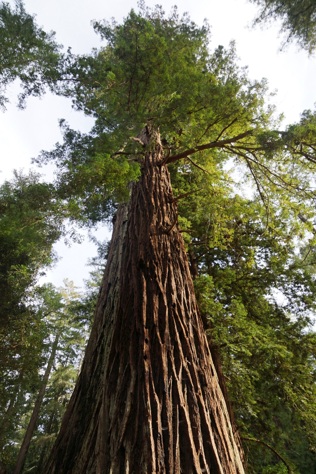 1200x1800 How Climate Change Is Affecting Our Redwood Forests