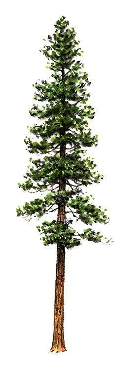 235x750 Douglas Fir Tree Drawing