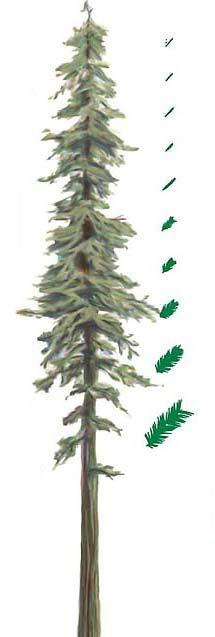 215x637 Sequoia Sempervirens Silhouette
