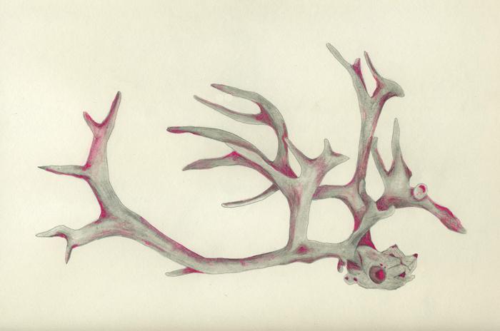 700x464 Reindeer Antlers And Skull