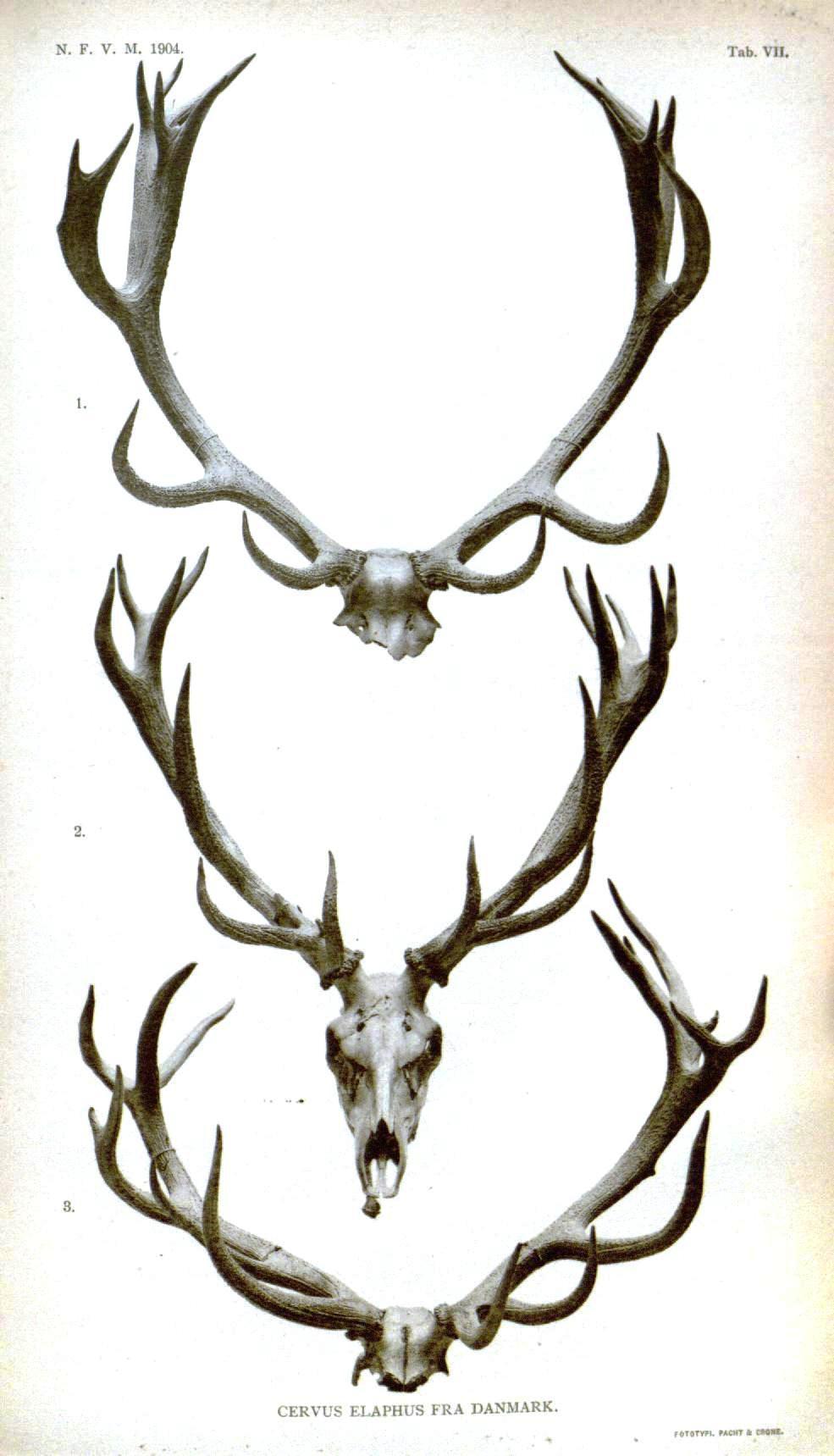 985x1719 Antlers, Videnskabelige Meddelelser Fra Den Naturhistoriske