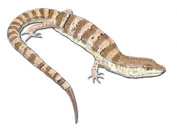 350x256 How To Draw A Lizard Reptile Drawings Lizards