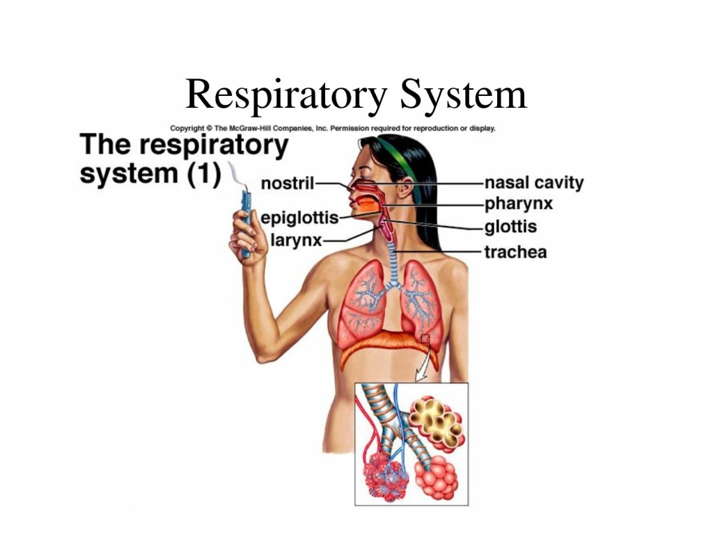 Respiratory system drawing at getdrawings free for personal 1024x768 respiratory system drawing for kids respiratory system for kids ccuart Choice Image