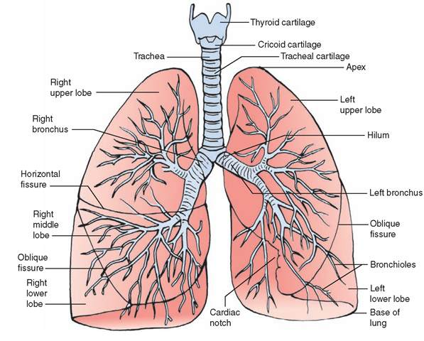 Respiratory System With Label Drawing At Getdrawings Free For