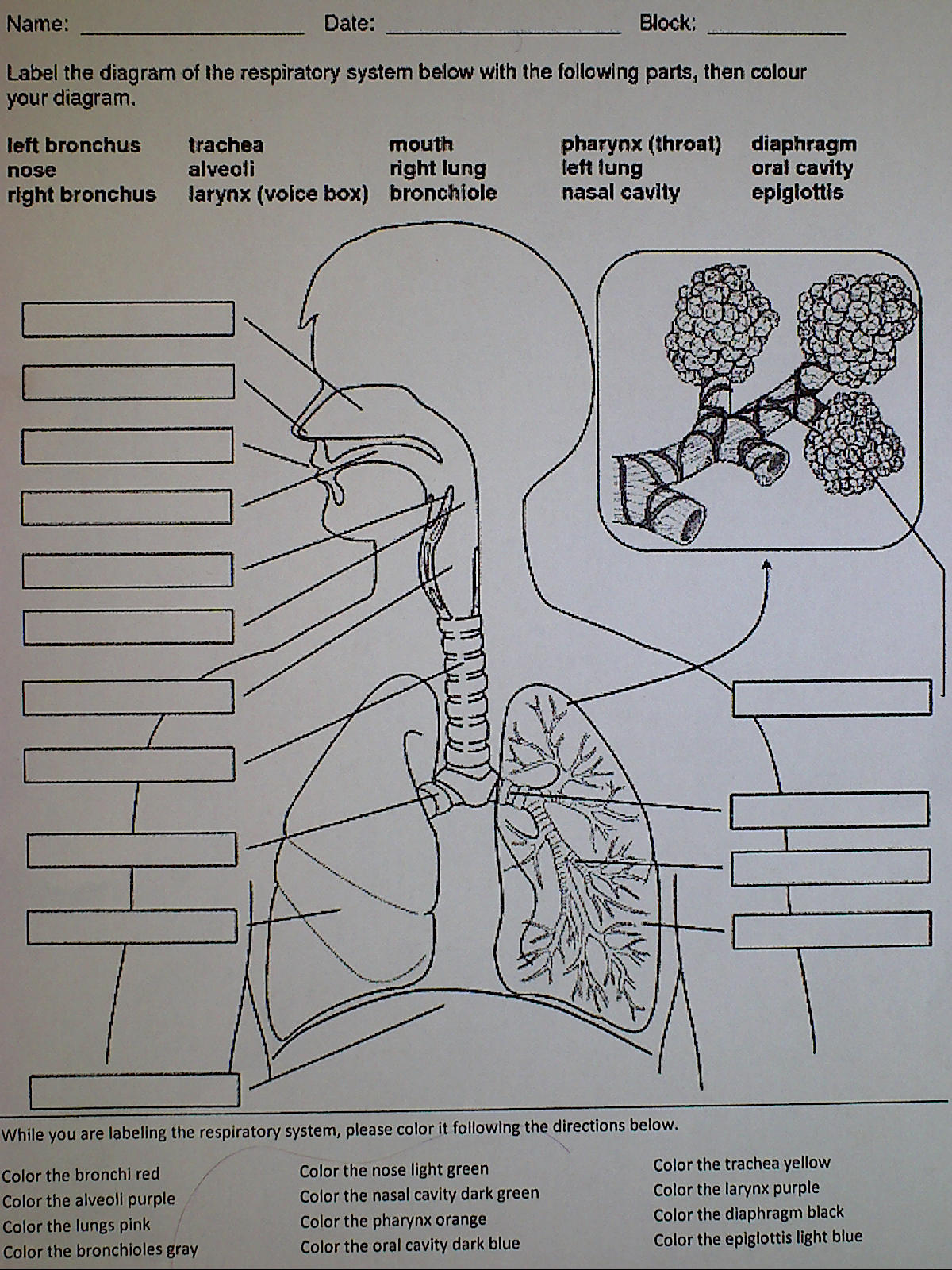 worksheet Label Respiratory System Worksheet respiratory system with label drawing at getdrawings com free for 1200x1600 system