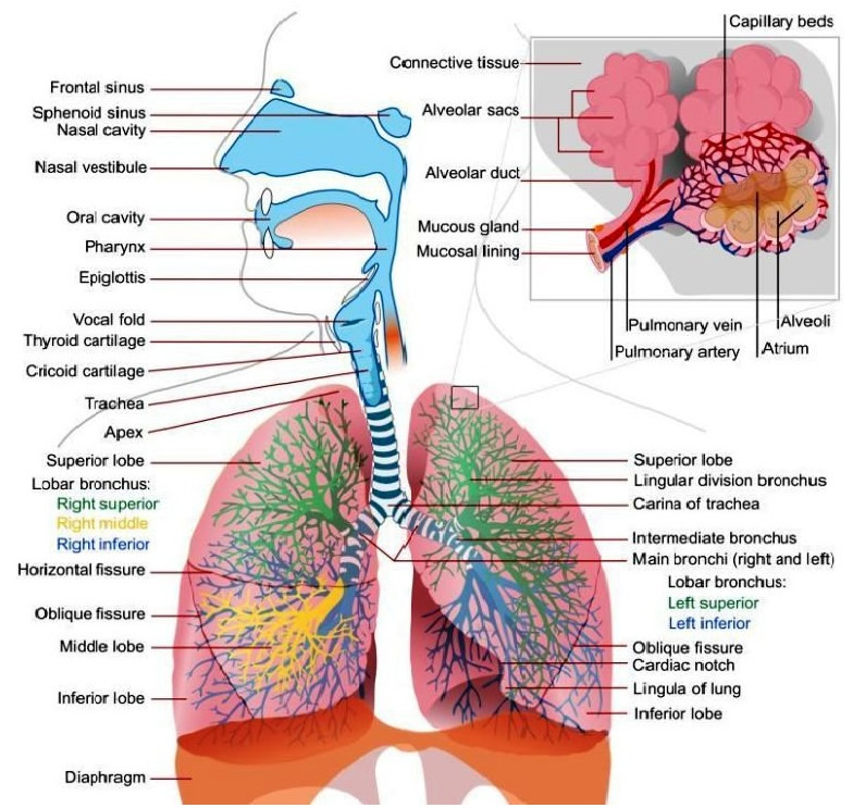Detailed labelled diagram of the lungs online schematic diagram respiratory system with label drawing at getdrawings com free for rh getdrawings com label your lungs labelled diagram of the lungs gcse ccuart Images