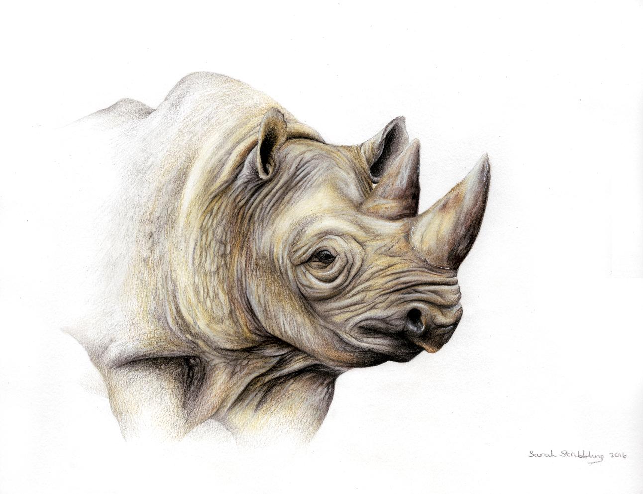 Rhino Pencil Drawing At Getdrawings