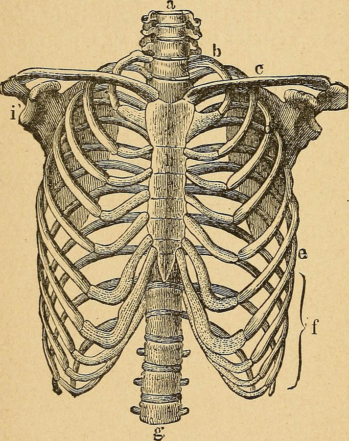 713x900 Human Rib Cage Drawing By Fl Collection