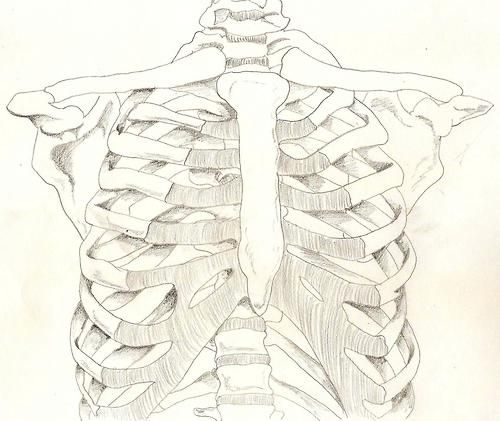 500x421 Lovely Drawing Of The Rib Cage. Inspiration Rib