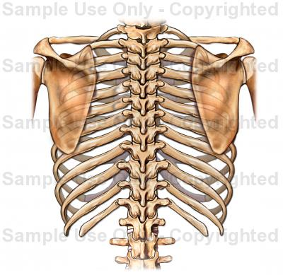 400x389 Posterior View Of Rib Cage
