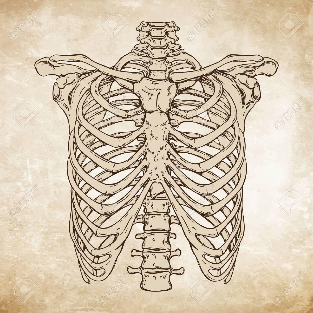 1300x1300 Hand Drawn Line Art Anatomically Correct Human Ribcage. Da Vinci